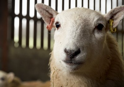 Brexit, Covid-19 and trade negotiations what can sheep tell us.jpg